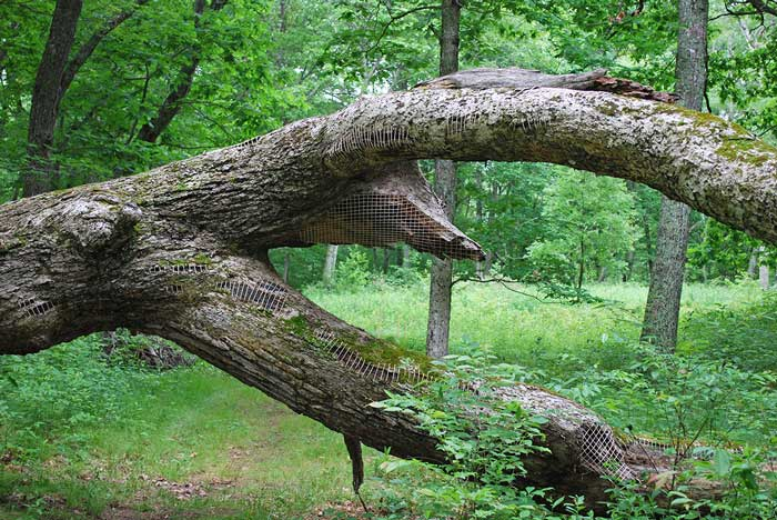 TREE RESTORATION 1 | A mended tree with stitches of yarn in I-park, Connecticut, USA.